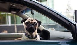 Imagem de Posso levar meu cachorro gato ou outro animal de Uber? – Entenda